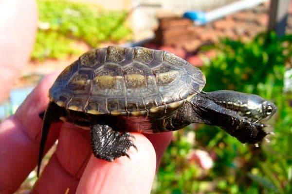 Китайские трехкилевые черепахи
