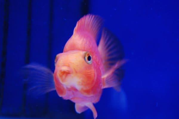 Красивая рыба-попугай