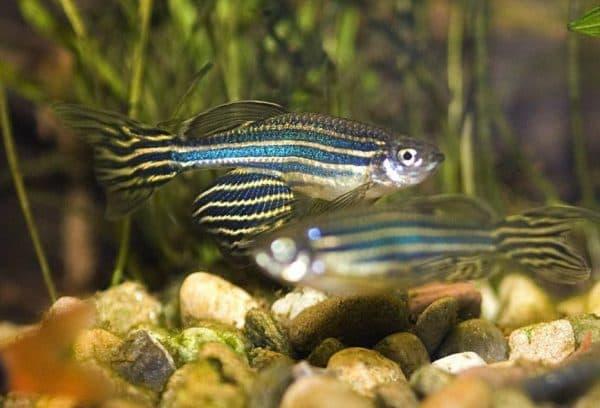Красивая рыбка данио рерио