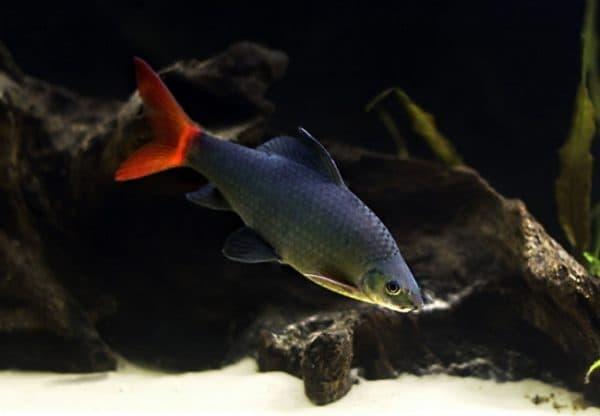 Красивая рыбка двухцветный лабео
