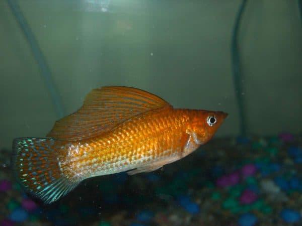 Красивая рыбка пецилия