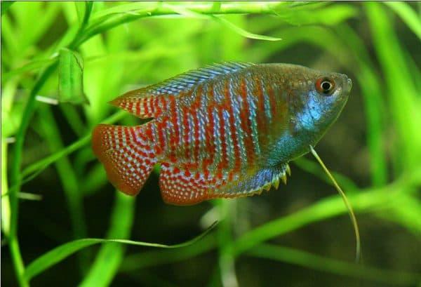 Лялиус красивая рыбка