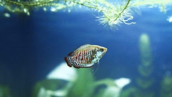 Лялиус прекрасная рыбка
