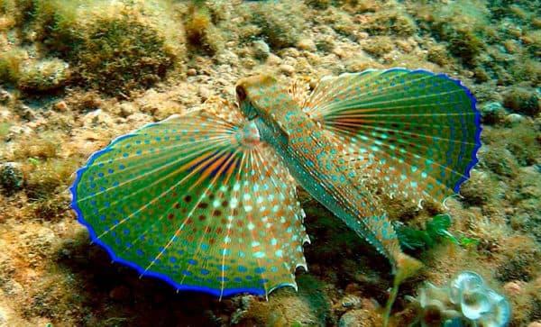 Морской петушок (тригловый)