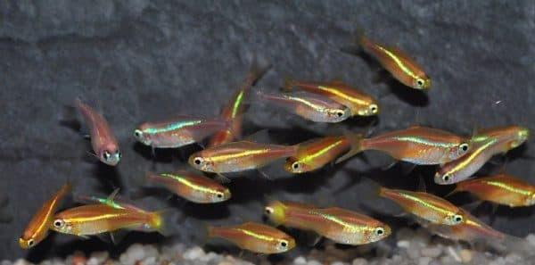 Неон рыбка золотая