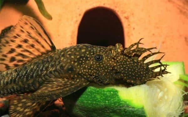 Неприхотливые рыбки для аквариума