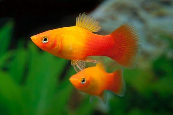 Пецилия красивая рыбка