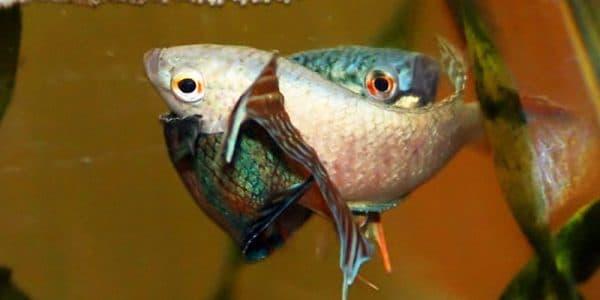 Размножение рыбок