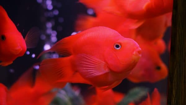 Рыба-попугай красный