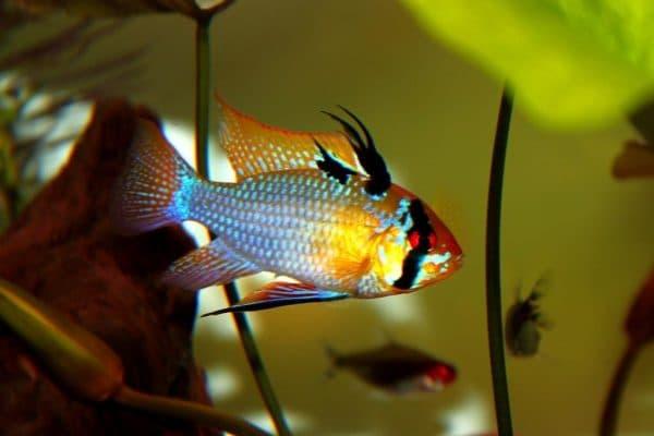 Рыбка Апистограмма Рамирези