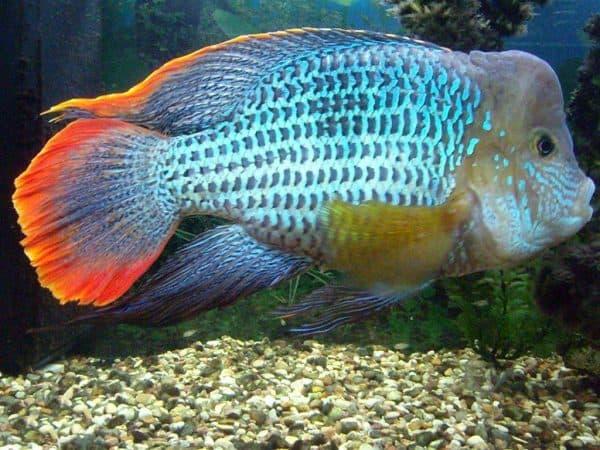 Рыбка акара бирюзовая
