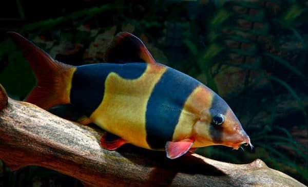 Рыбка боция клоун