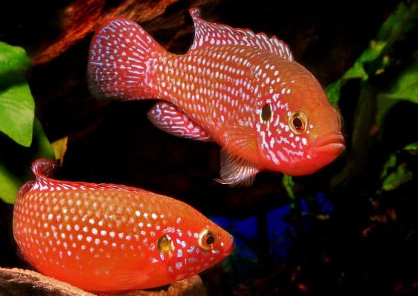 Рыбка хромис-красавец