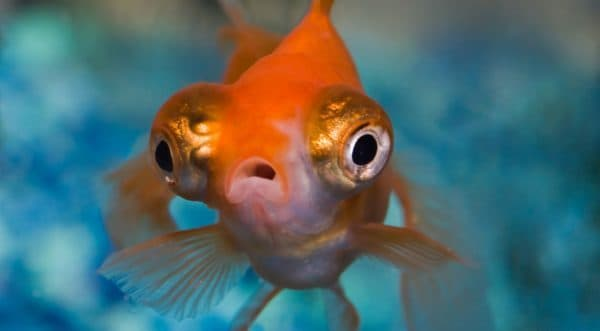 Рыбка телескоп забавная