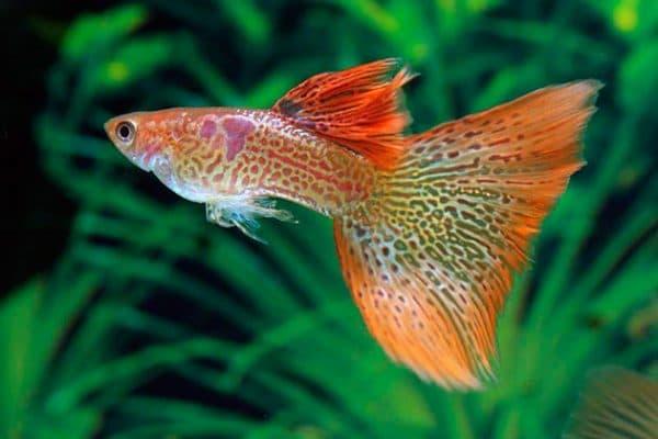 Рыбки Гуппи – фото, описание, содержание