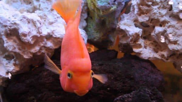 Рыбы красный попугай