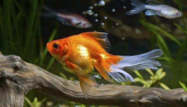 Сколько живут рыбки в аквариуме читайте статью