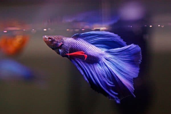 Сколько живут рыбки в аквариуме