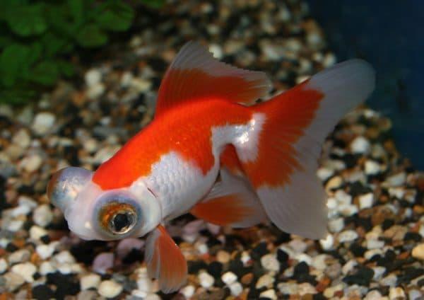 Телескопы - аквариумные рыбки