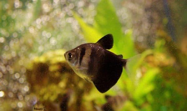 Тернеция изумительная рыбка