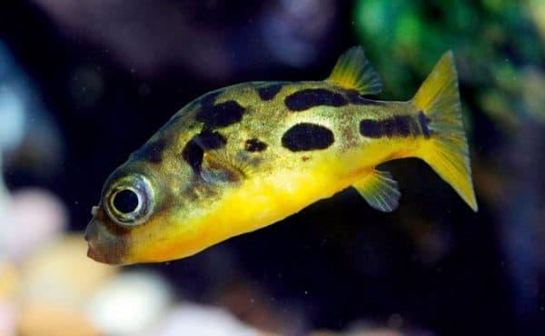 Тетрадон карликовый красивая рыбка