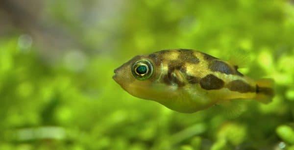 Тетрадон карликовый замечательная рыбка