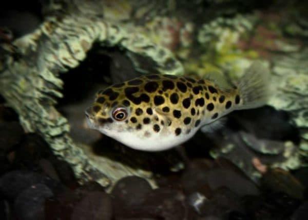 Тетрадон карликовый. Содержание, фото рыбок, видео, разведение и совместимость.
