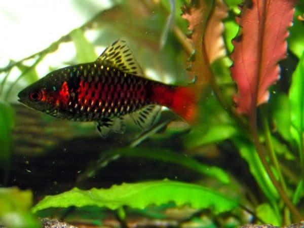 Барбус алый-аквариумная рыбка