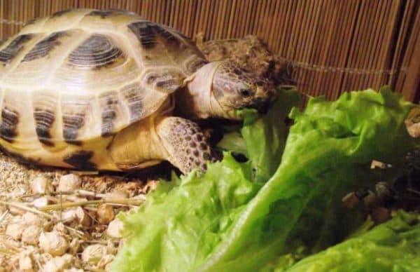 Что ест черепаха в домашних условиях читайте статью