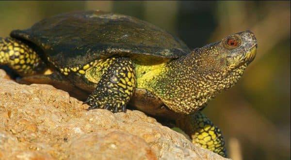 Европейская болотная черепаха красивая