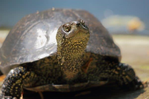Европейская болотная черепаха смотрит