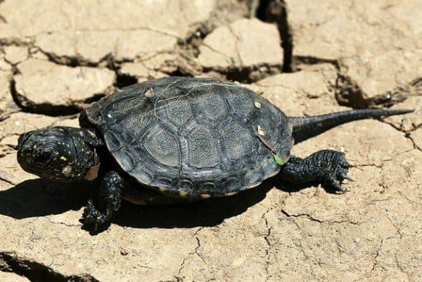 Европейская болотная черепаха. Содержание, фото, питание, описание и разведение.