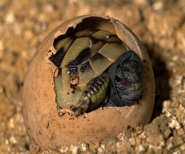 Фото среднеазиатская черепаха
