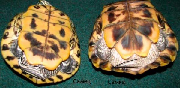 Как определить пол у красноухих черепах читайте статью