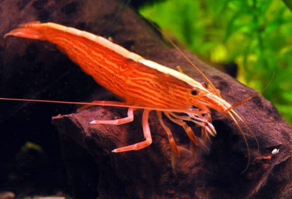 Креветка-фильтратор (Atyopsis moluccensis)
