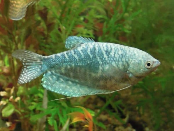 Мраморные гурами рыбки