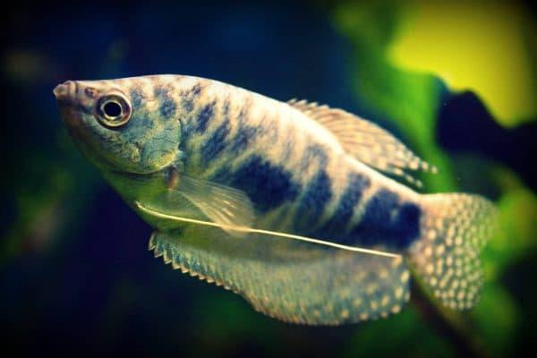 Мраморные гурами. Содержание, фото рыбки, видео, совместимость и разведение.