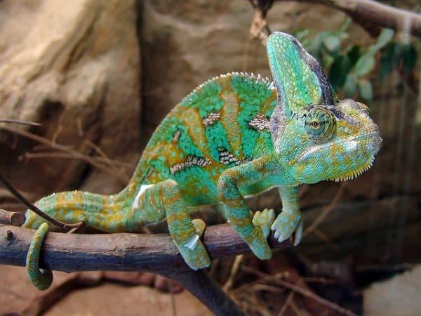 Невероятный йеменский хамелеон