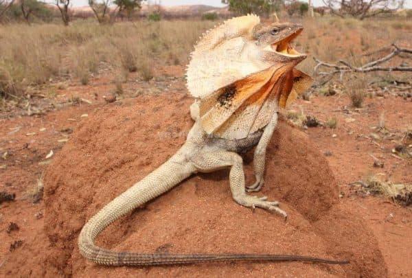 Плащеносная ящерица - устрашающее существо