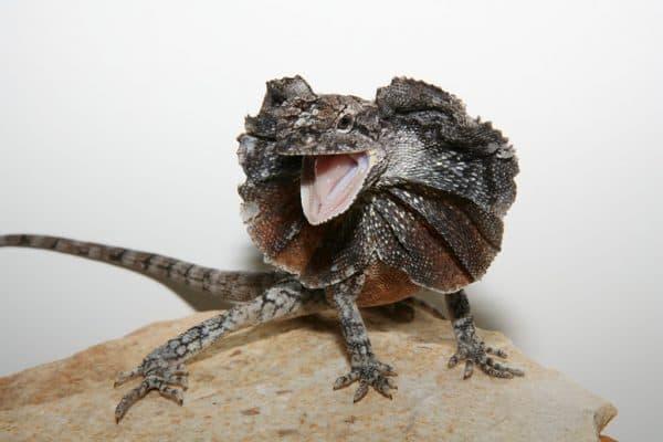 Прекрасная плащеносная ящерица
