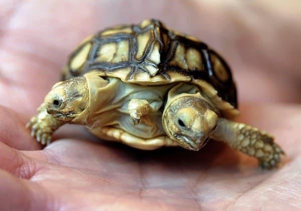 Среднеазиатская черепаха сухопутная читайте статью