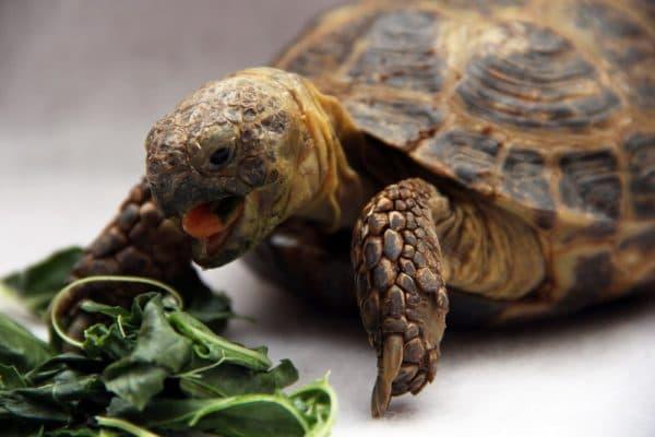Среднеазиатская черепашка кушает