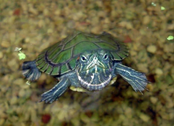 Уход за черепахой в домашних условиях читайте статью