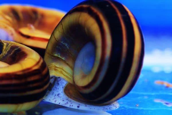 Улитка мариза в аквариуме