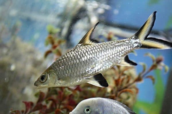 Акулий балу красивая рыбка