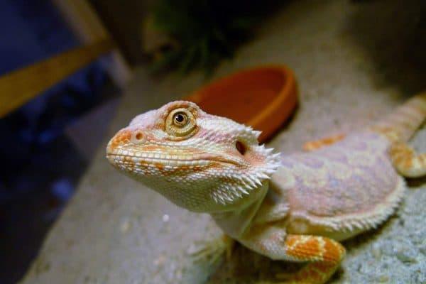 Бородатая агама. Образ жизни австралийской ящерицы