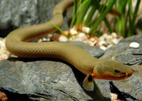 Каламоихт калабарский рыба змея
