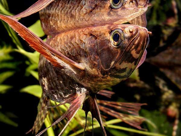 Рыба-бабочка (Пантодон аквариумная)