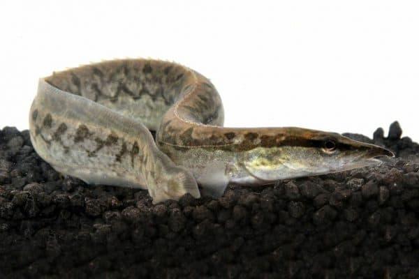Тело Мастацембела Арматуса имеет змеевидную форму