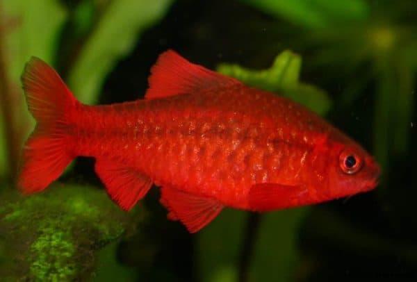 Вишневый барбус - красивая рыбка